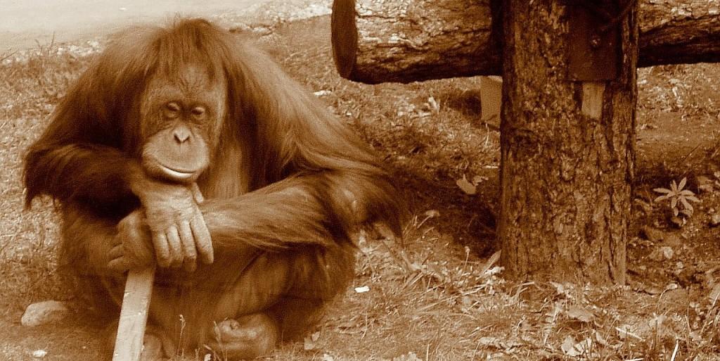 Orangutan_thinking