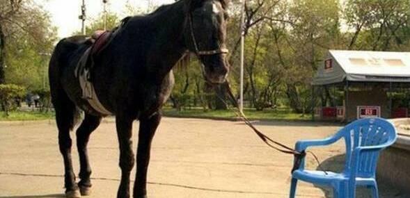 cavalo amarrado a uma cadeira